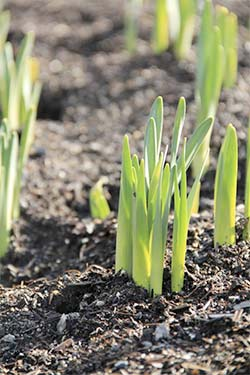 daffodils-sprouting