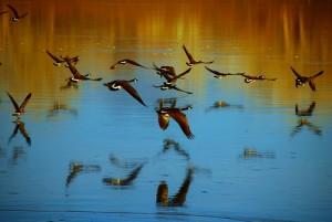 English blog geese