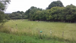 Got to have a shot of some sheep in England