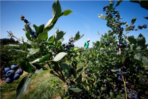 BC-blueberries-Darryl_Dyck-canadian_press_image