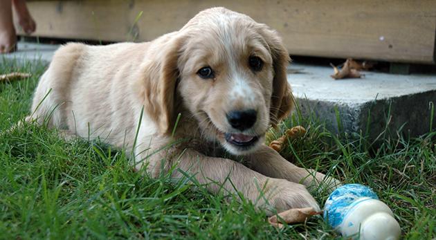Gomez puppy